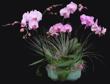 Orchid Arrangement 11_384_293_90