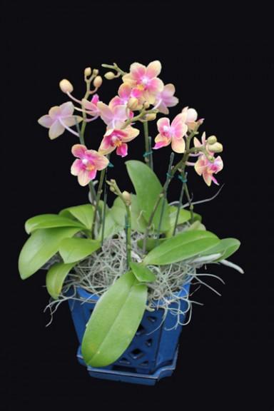 Orchid Arrangement  6_384_576_90